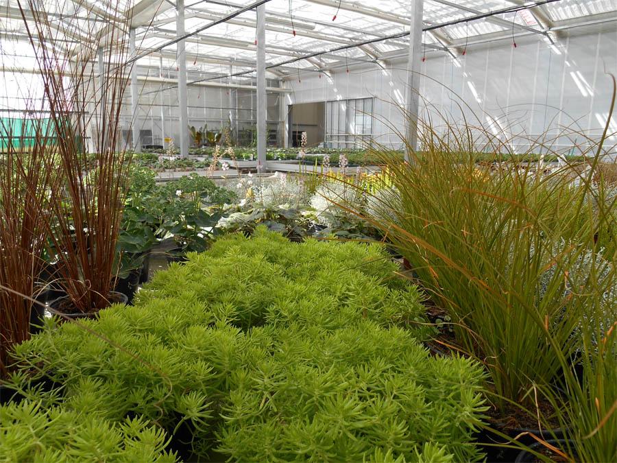 Plantes vivaces schwarz for Plantes vertes vivaces exterieur