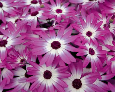 Plante vivace schwarz for Plante tapissante vivace